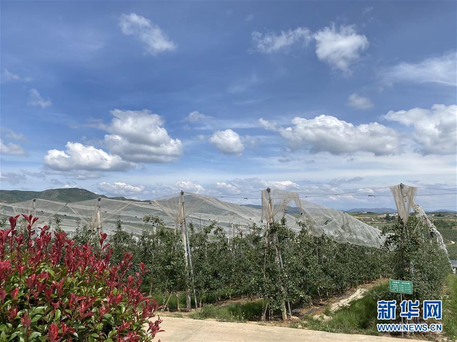 (決戰決勝脫貧攻堅·圖文互動)(3)高原紅了,日子好了——貴州海拔最高縣發展蘋果産業見聞