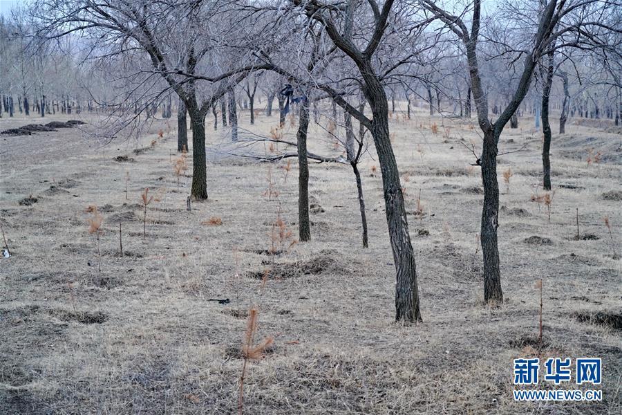 """苗木有的枯死有的遭牛羊啃食……河北沽源多处林带为何""""种树不见树""""?"""