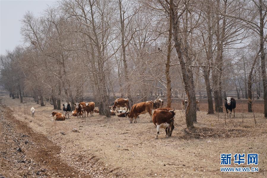 """(新華視點·圖文互動)(5)苗木有的枯死有的遭牛羊啃食……河北沽源多處林帶為何""""種樹不見樹""""?"""