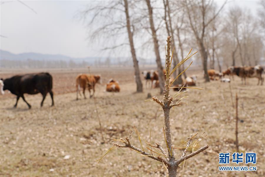 """(新華視點·圖文互動)(6)苗木有的枯死有的遭牛羊啃食……河北沽源多處林帶為何""""種樹不見樹""""?"""