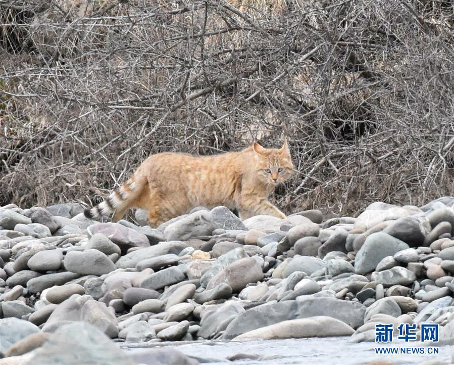 (圖文互動)(1)祁連山國家公園首個荒漠貓專項調查取得階段性成果
