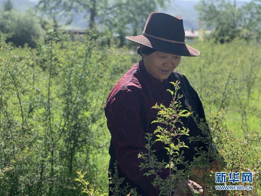 """(圖文互動)(1)高山下的""""扶貧藏雪茶"""""""