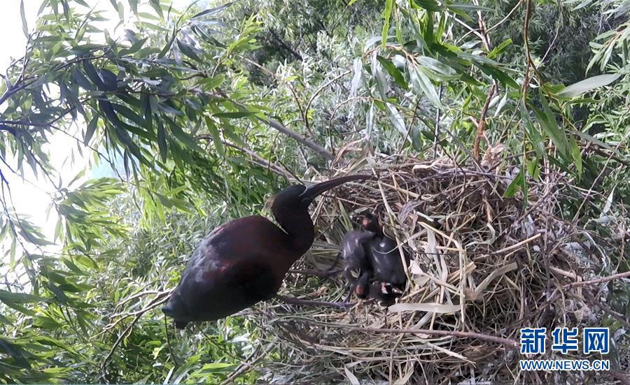 (圖文互動)(1)雲南大理首次記錄到珍稀物種彩鹮自然繁殖