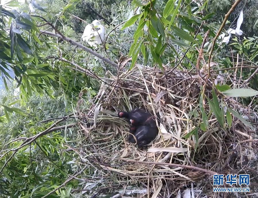 (圖文互動)(2)雲南大理首次記錄到珍稀物種彩鹮自然繁殖