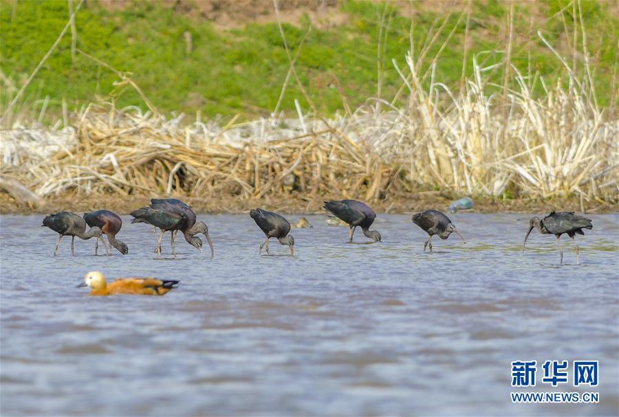 (圖文互動)(3)雲南大理首次記錄到珍稀物種彩鹮自然繁殖