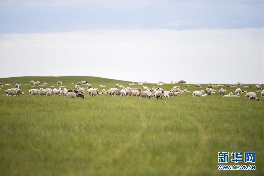 (走向我們的小康生活·圖文互動)(2)草原有了網,手機能放羊——看呼倫貝爾大草原牧民生活變了樣