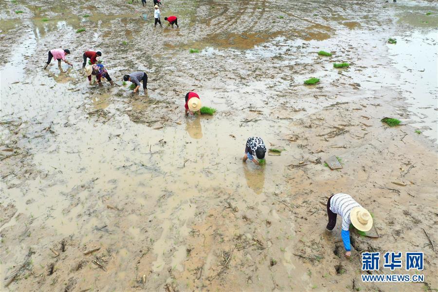 #(经济)(4)湖南:抢插水稻  生产自救