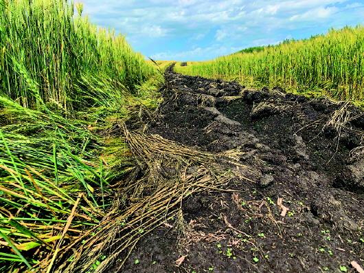 铲毁2万多亩将熟麦子油菜,为完成退耕指标?