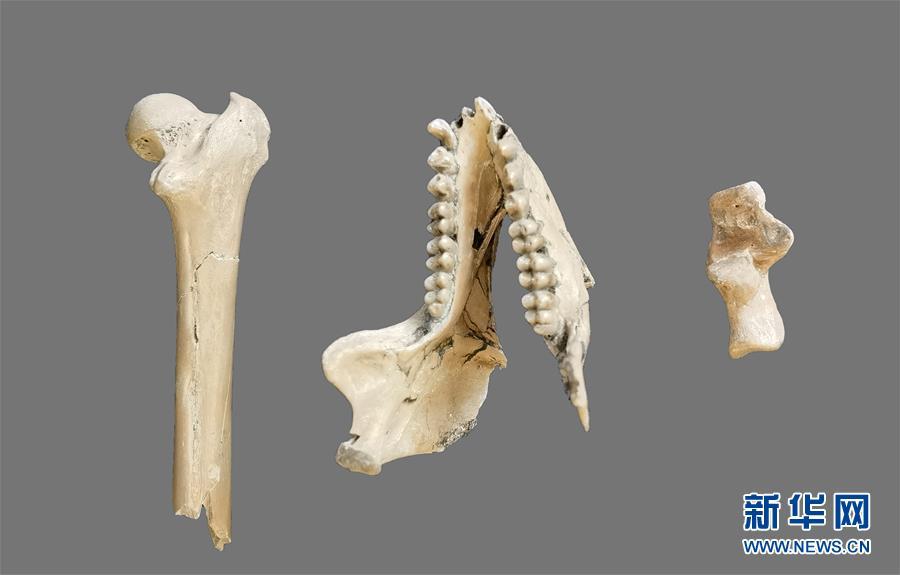 (圖文互動)(1)雲南昭通發現640萬年前最接近金絲猴祖先的化石