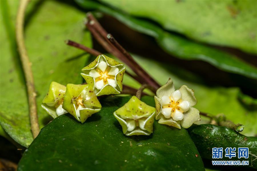 (圖文互動)(2)我國科學家在云南發現一植物新物種高黎貢球蘭
