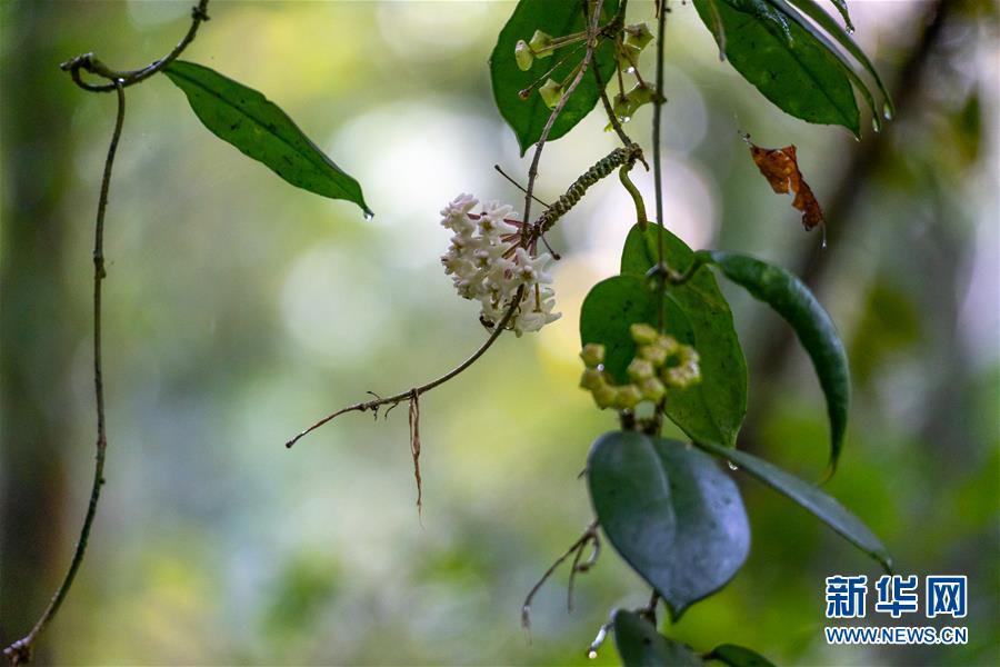 (圖文互動)(4)我國科學家在云南發現一植物新物種高黎貢球蘭