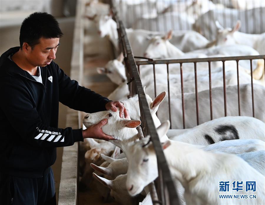 """(五中全會精神在基層·圖文互動)(1)大學生""""羊倌""""成了致富""""領頭羊"""""""