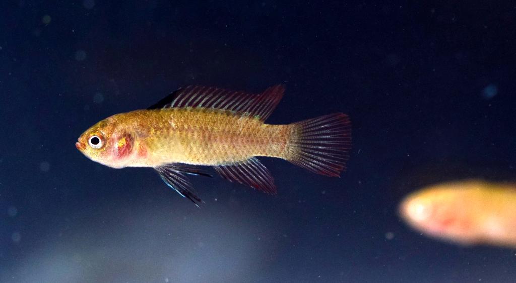 调查发现:怒江中下游发现特有鱼类新分布区