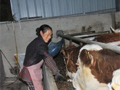 新模式帶動苗寨養牛精準脫貧