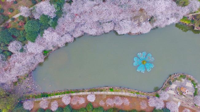 長沙櫻花絢爛綻放 如詩如畫