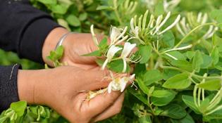 河北巨鹿:金銀花産業助力農家脫貧