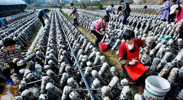 江西鄱陽:黑木耳帶動扶貧産業