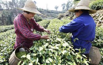 杭州西湖龍井茶零星開採