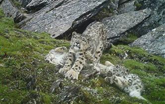 四川首次拍到四只雪豹同框畫面