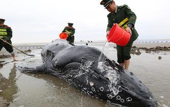營救擱淺座頭鯨