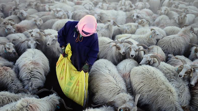 青海:草原補獎政策惠及80萬牧民