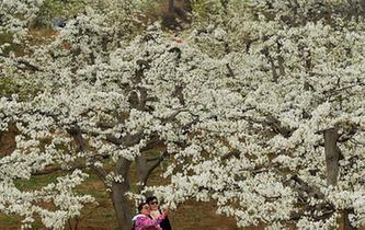 梨花爭艷春滿園