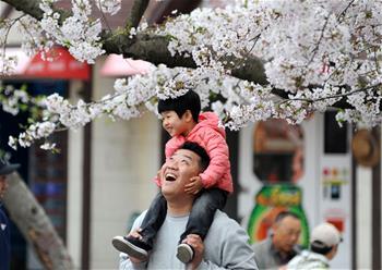 青島櫻花進入盛花期