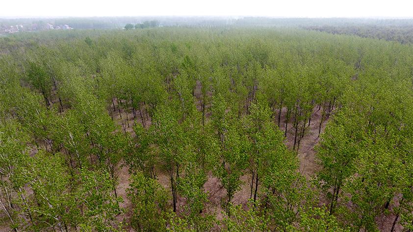 河南民權:三代造林人接力68年播綠黃河故道