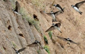 河南一工地停工 護數千只崖沙燕築巢