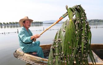 杭州:西湖清螺螄 用上新武器