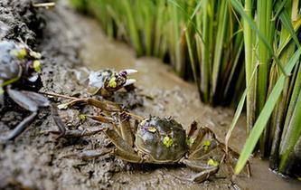 稻蟹立體生態種養促增收