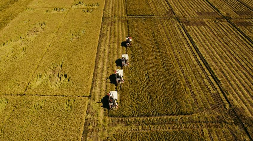 """豐收圖景背後的""""時代之變""""——來自吉林""""黃金水稻帶""""的豐收觀察"""