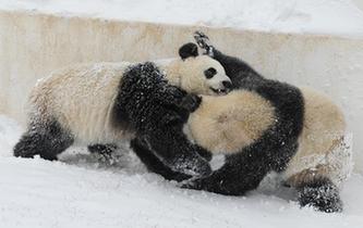 """長春迎降雪 """"功夫""""大熊貓雪中撒歡"""