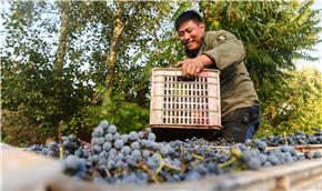 內蒙古馬鞍山村:山葡萄喜獲豐收