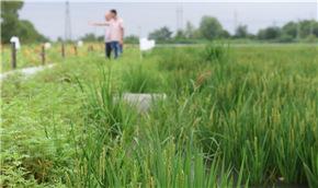 稻魚、稻鱉共養迎豐收