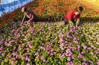 河北广阳:特色花卉供应京津春节市场