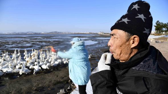 """山東榮成:天鵝湖畔的""""天鵝衛士"""""""
