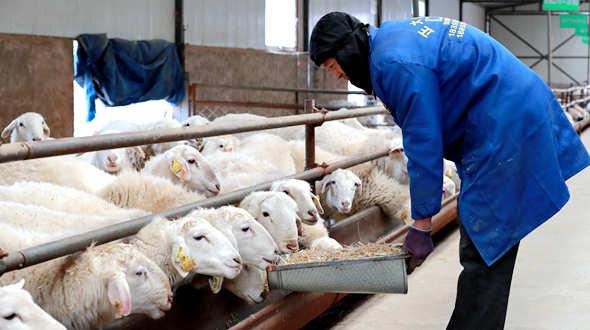 甘肅廣河:規模養殖助脫貧