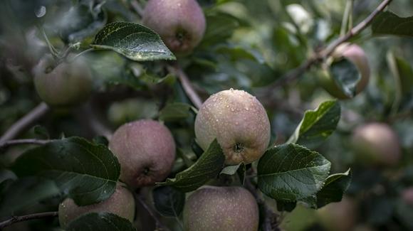 雲南昭通:蘋果産業富農家