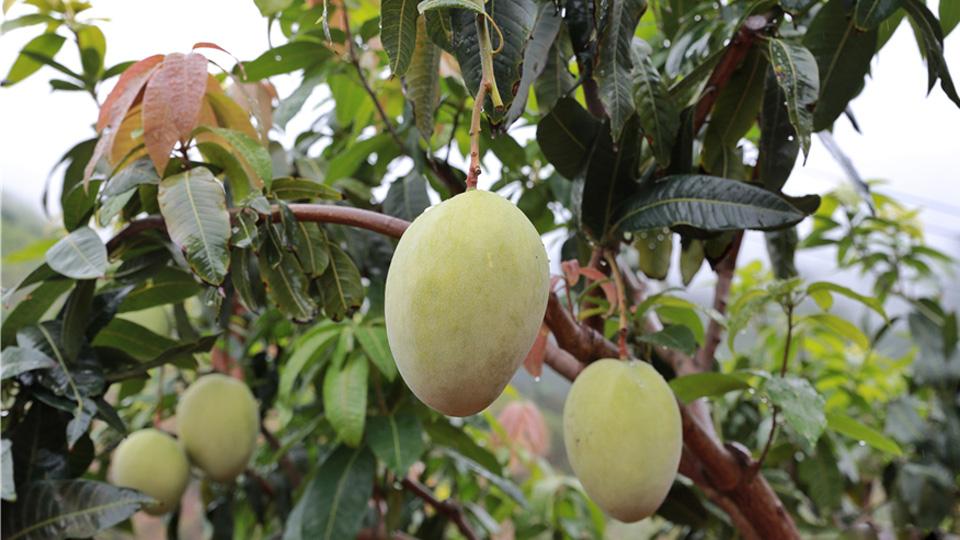 雲南華坪:芒果産業讓山變綠、水變清、民變富