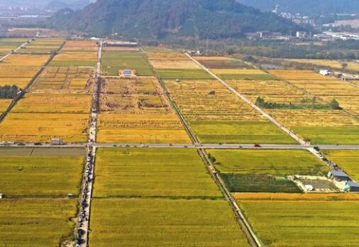 秋收勞動競賽 傳承農耕文化
