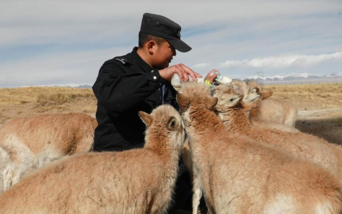 """可可西里的藏羚羊""""幼儿园"""""""