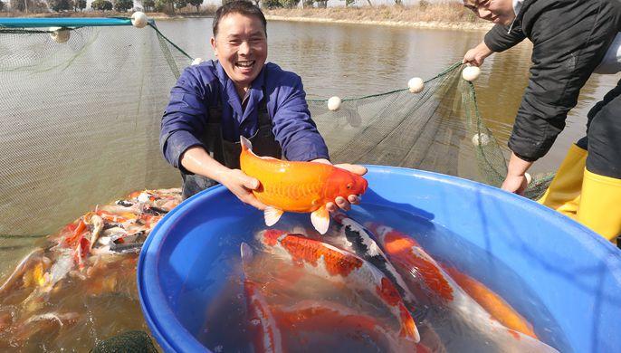 浙江湖州:锦鲤喜丰收