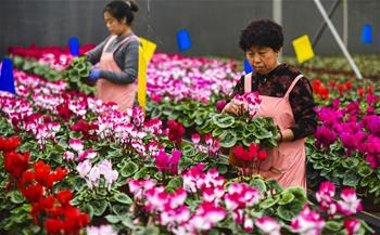 河北霸州:40萬盆鮮花扮靚京津兩節市場