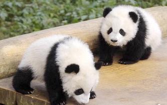 重慶動物園雙胞胎大熊貓寶寶正式與遊客見面