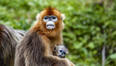 湖北神農架的金絲猴