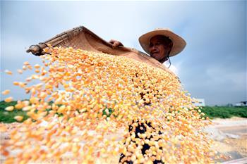 山東郯城十萬余畝玉米豐收