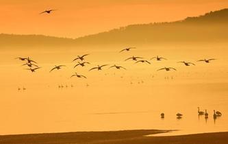 山東榮成天鵝湖成群天鵝翩翩起舞