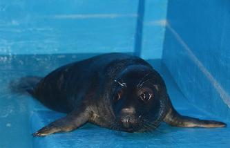 """國內首只人工哺育成活灰海豹""""六一""""亮相"""