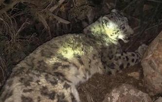 青海雜多救助受傷野生雪豹